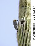 A Gila Woodpecker On A Saguaro...