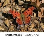 Question Marl Butterfly