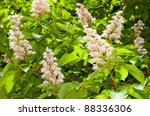Foliage And Flowers Of Horse...