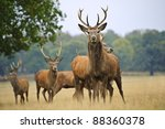 red deer stags and does herd in ... | Shutterstock . vector #88360378