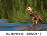 Egyptian Geese Standing In Water