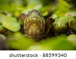 Red Eared Slider Turtle In The...