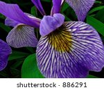 Purple Siberian Iris Close Up