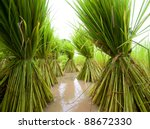 thai rice | Shutterstock . vector #88672330