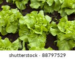 Green And Red Healthy Lettuce...