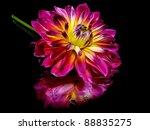 Dahlia Flower On A Black...