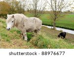 shetland pony in the field - stock photo