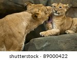 Lioness Mother Licking Her Cut...