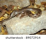 Big Prairie King Snake On A...