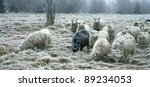 Sheep  in misty haze in a gloomy winter day. The smallest and most primitive breed in Europe. Pasterka village in Poland - stock photo