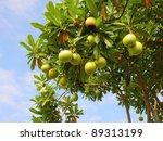 Cerbera Oddloam Fruit On Tree...