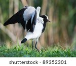 Blacksmith Lapwing With Wings...