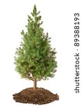 Young Spruce  Picea Glauca...