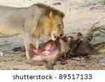 A Young Male Lion Feeding On A...