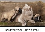 Stock photo french bulldog puppy and british kitten 89551981
