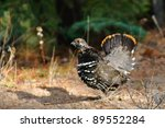 Male Spruce Grouse Alberta Canada - stock photo
