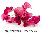 Red Calla Beautiful Flower On ...