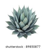 Agave plant isolated on white - stock photo