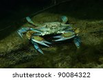Blue Crab  Crystal Springs ...
