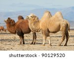 Bactrian Camel In The Steppes...