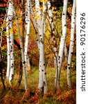 White Fall Birch Trees With...