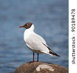 Black Headed Gull  Larus...