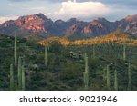 Saguaros With Sunset Lit...