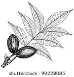 Plant Carya Pecan