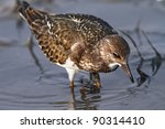 Ruddy Turnstone In Shallow Water