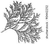 Plant Libocedrus Decurreus ...