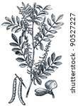 Small photo of True indigo (Indigofera tinctoria) - an illustration of the encyclopedia publishers Education, St. Petersburg, Russian Empire, 1896