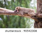 Lazy Monkey Relaxed On A Tree...