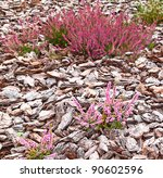 Flowering pink heather calluna vulgaris ericaceae on a background the bark of trees - stock photo