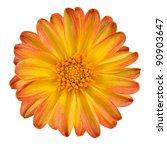 Dahlia Flower with Orange Yellow Petals Isolated on White Background - stock photo
