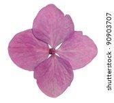 Single Pink Hydrangea Flower Isolated on White Background - stock photo