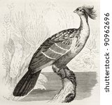 Small photo of Hoatzin old illustration (Opisthocomus hoazin). Created by Kretschmer, published on Merveilles de la Nature, Bailliere et fils, Paris, ca. 1878