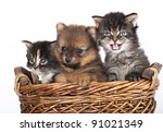Stock photo the puppy of the spitz dog with a kittens 91021349