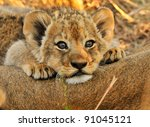 Lion Cub Resting On Mom