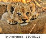 Lion Cub Resting On Mom