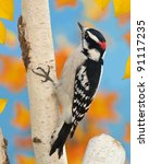 A Male Downy Woodpecker ...
