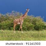 giraffe on the background of a... | Shutterstock . vector #91161503