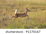White Tailed Deer Fawn Leaping...
