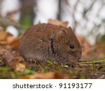 Bank vole (Clethrionomys glareolus) seen from the side - stock photo