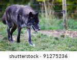Black and gray wolf prowling with soft focus fence in background - stock photo