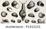Edible Snails Old Illustration  ...