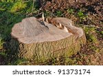 Recently Sawed Tree Stump...