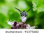 Small photo of Amegilla zonata in green nature or in the garden