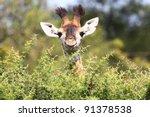 Stock photo cute baby giraffe 91378538