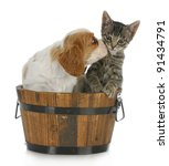 Stock photo cute puppy and kitten cavalier king charles spaniel puppy kissing grey short haired kitten on 91434791