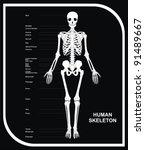 Vector   Human Skeleton  All...